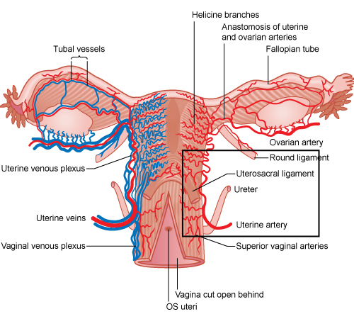 Illustrated image showing the uterine blood supply.