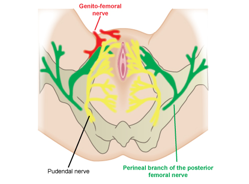 Illustrated image showing the parasympathetic nerves.