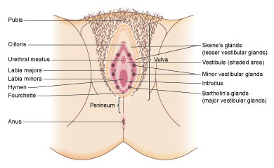 Colour diagram of genitals with a vulval abscess