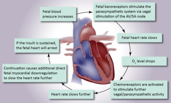 Illustrated image showing the fetal heart.